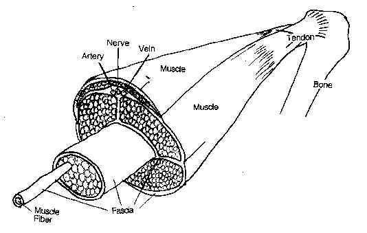 Tendonitis Anatomy