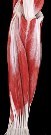 Extensor muscles of the forearm