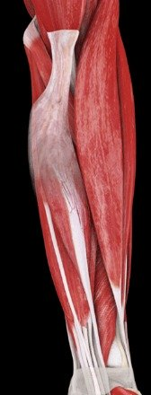 Flexor muscles of the forearm